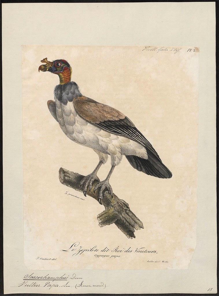Koningsgier - Sarcoramphus papa