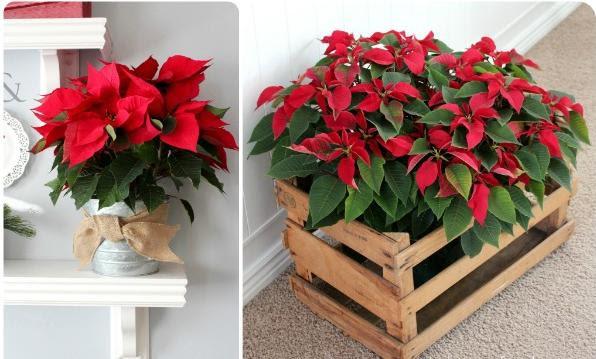 flores-y-centros-de-mesa-para-navidad-poinsettias-rojas