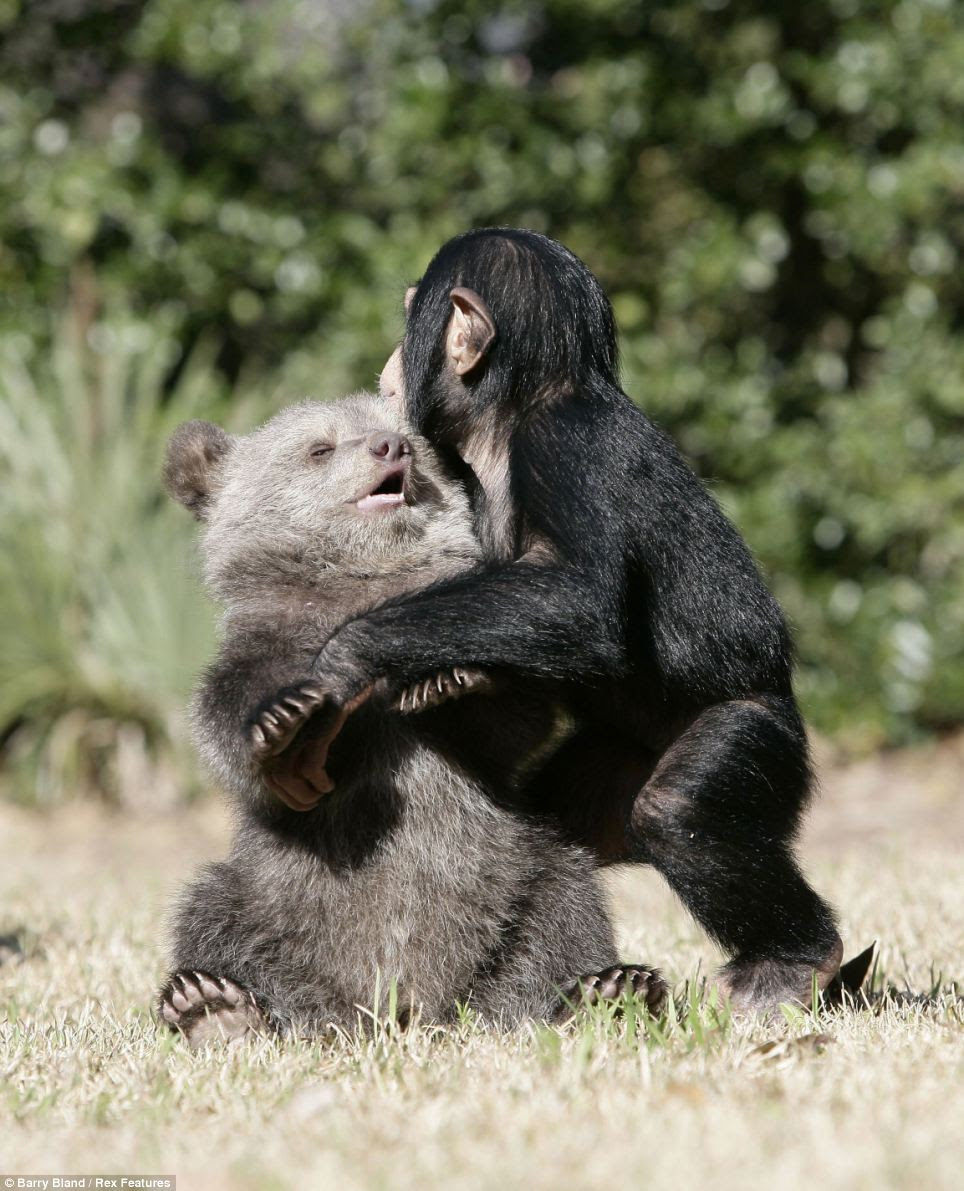 Staff are not sure how long the friendship will last as Bam Bam will quickly grow into a 56st adult bear, while Vali will reach only 9st