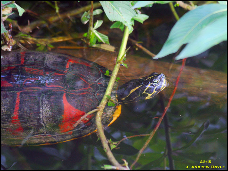 Red-bellied cooter