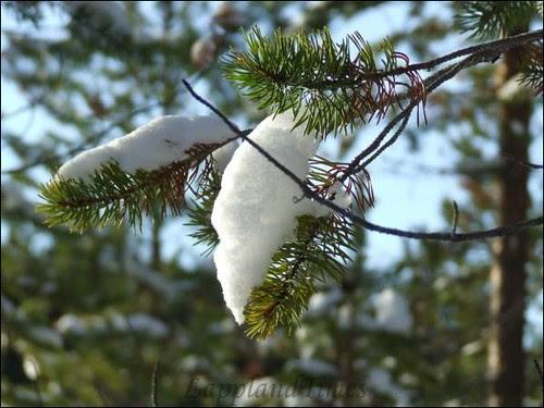 Snow on Pine Twigs