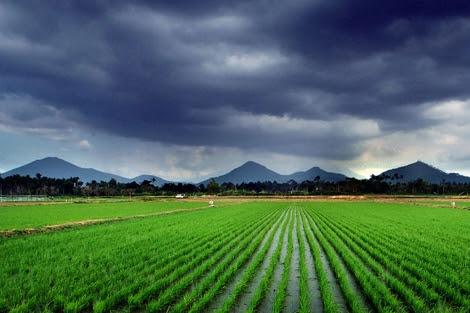 Una plantación de arroz en Asia, el continente que produce el 90% de arroz mundial. | IRRI