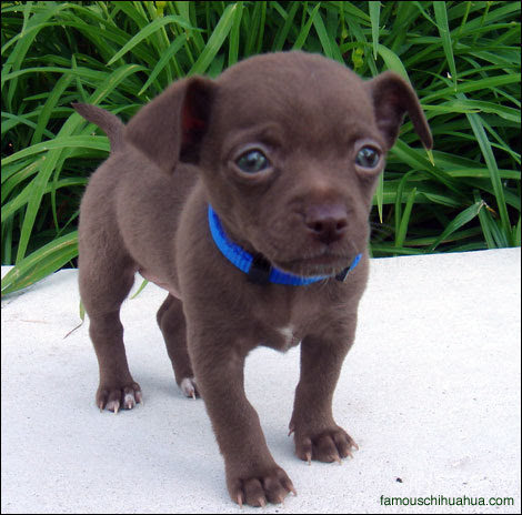 long haired chihuahua puppies for sale in nc. i am a short-haired chihuahua