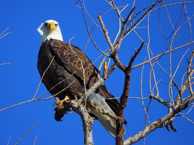 IMG_6183 Bald Eagle, Sacramento National Wildlife Refuge