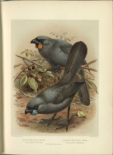 Blue-Wattled Crow - (Glaucopis wilsoni) -- Orange-Wattled Crow (Glaucopis cinera)
