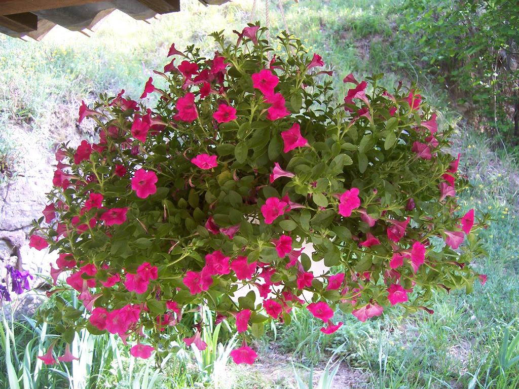 Fleurs : Pétunia cerise