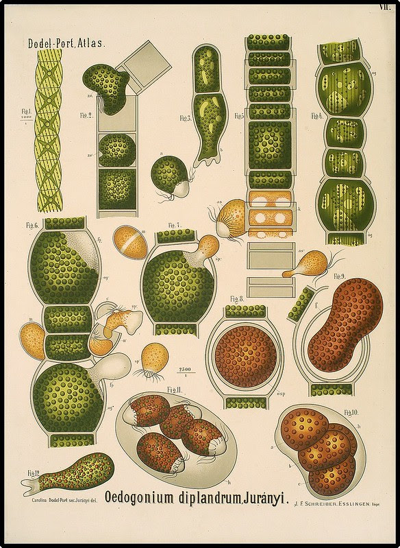illustrated views of microscopic filamentous algae
