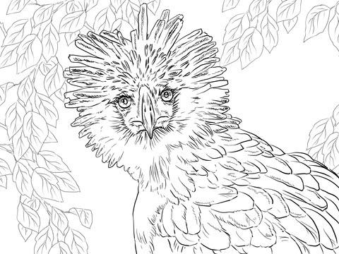 Dibujo De Retrato Del águila De Filipinas Para Colorear Dibujos