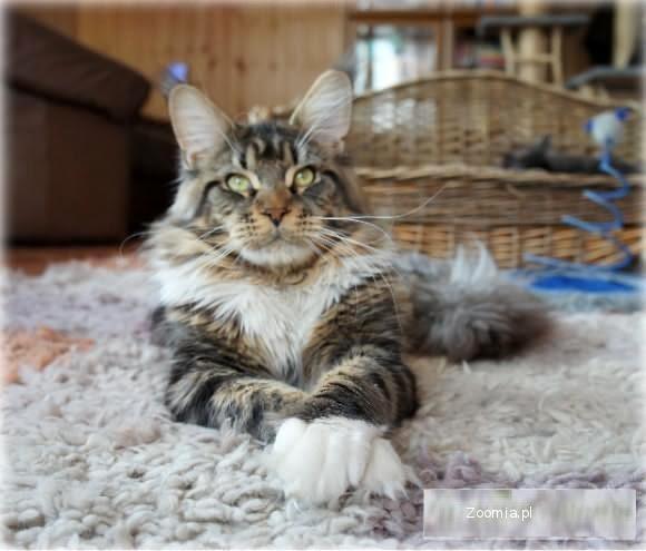 Kot Maine Coon Ogłoszenia Z Hodowli Koty Maine Coon Zoomiapl Pl 8