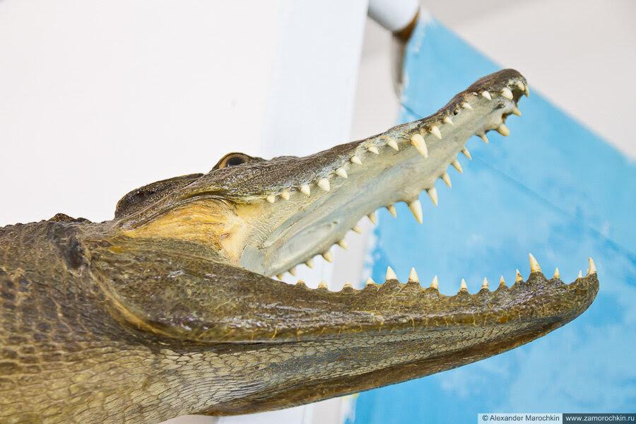 Чучело крокодила в музее ракушек Корфу