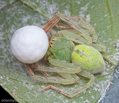 a female green huntsman guarding her egg sac IMG_8899 merged copy