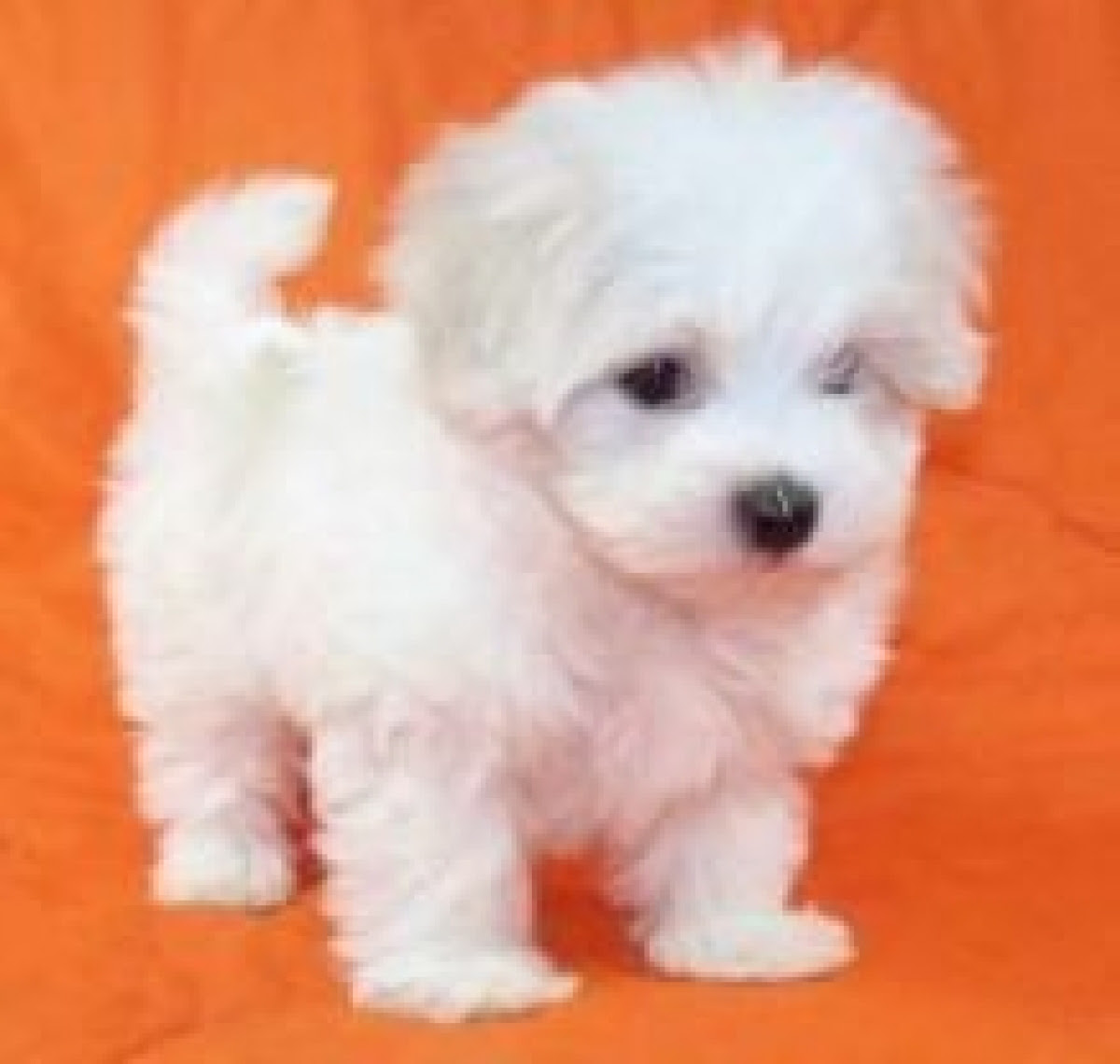 Maltese Puppies for sale  Dogs \u0026 Puppies  Oregon  Free Classified