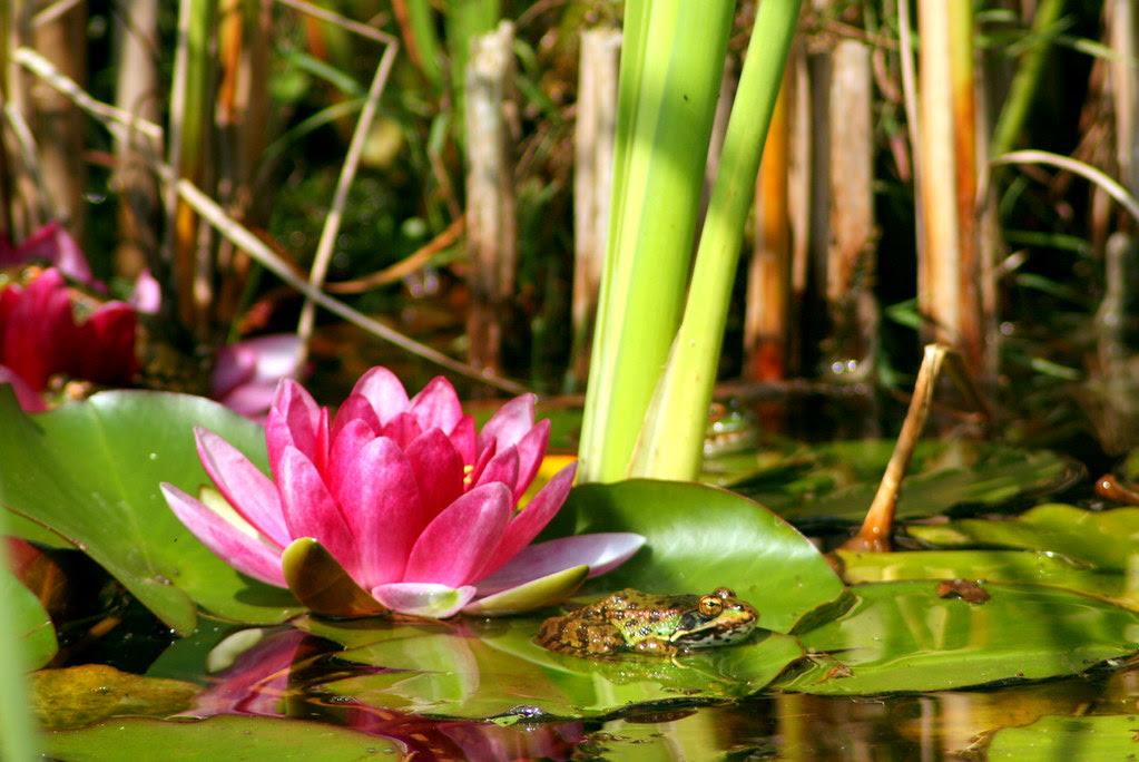 Estanque con rana y nenúfar