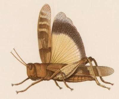 winged cricket