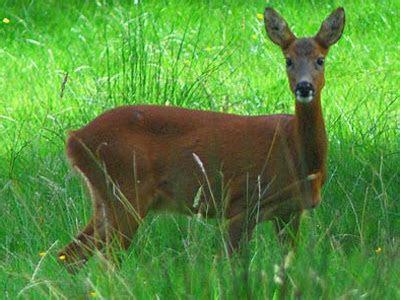 British Mammals Picture Identification Quiz Badger, Deer, Squirrel