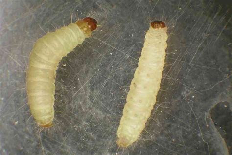 White Worms Crawling Up the Walls!   Colonial Pest Control