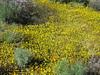 Goldfields, poppies