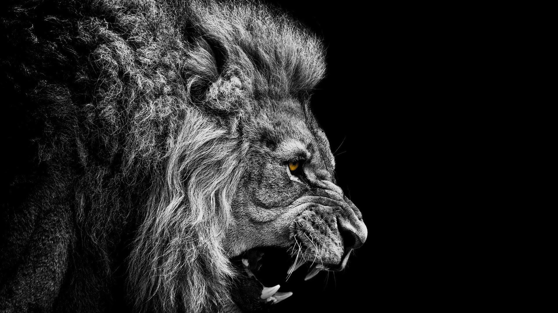 Download Wallpaper Lion Black And White Hd Cikimm Com