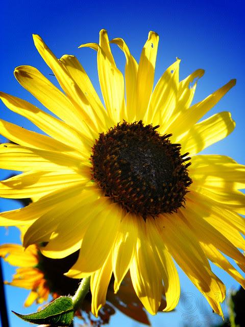 DSCN4338 Sunflower