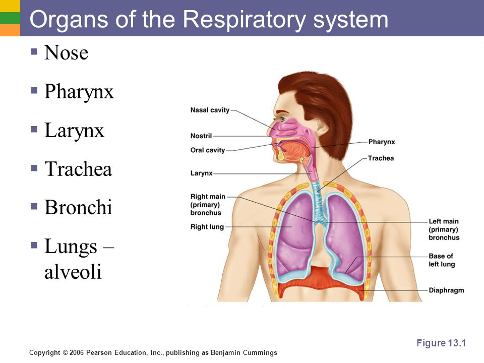 Organs+of+the+Respiratory+system