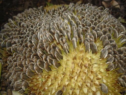 Sunflower seeds on the hoof