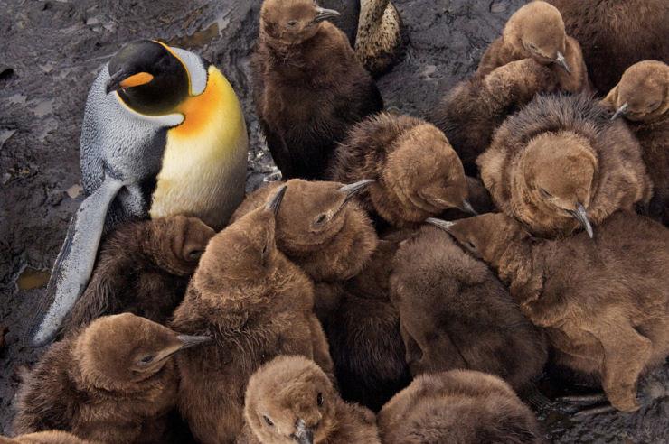 Visite as Ilhas Crozet, 100 mil pinguins não podem estar errados