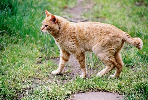 Orange Half-Tail