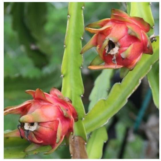 Dragon Fruit Cactus Plant 1 Gallon Seed World
