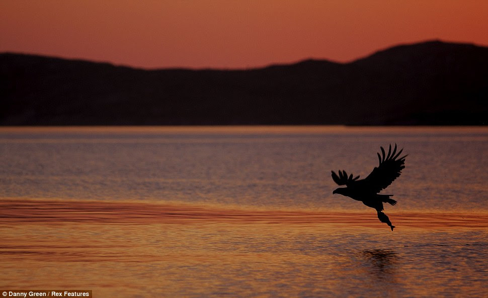 The silhouette of a White Tailed Sea Eagle carrying a fish, over a  lake in Norway