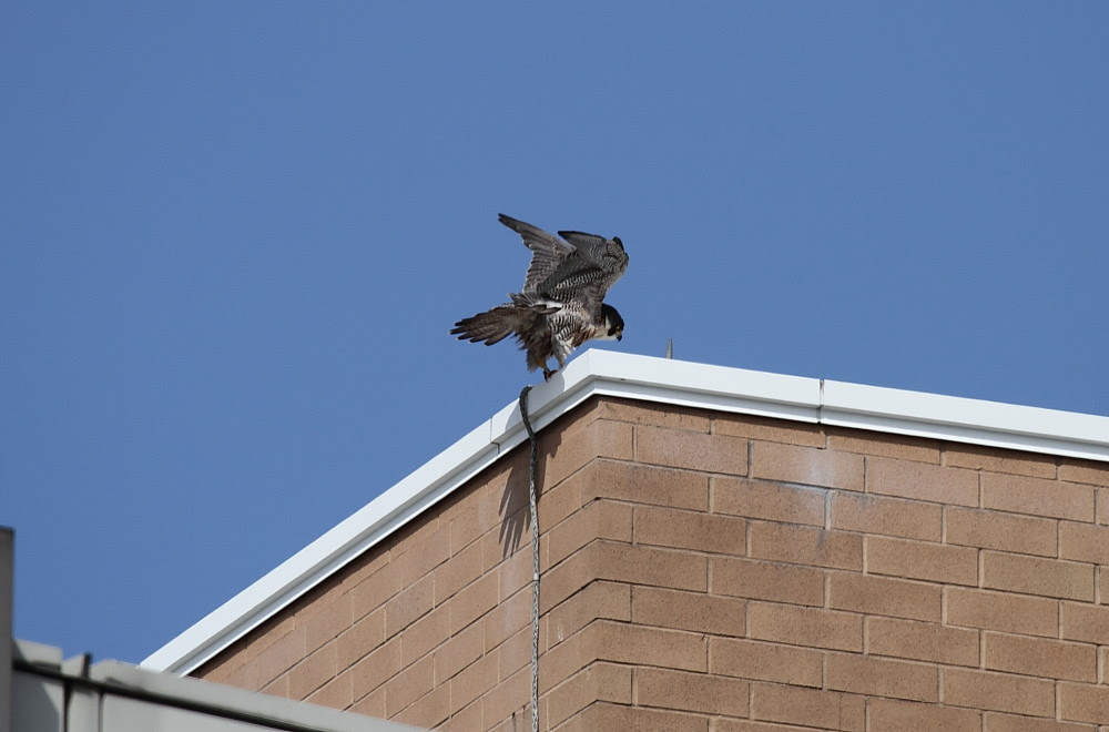 Peregrine Nest Break