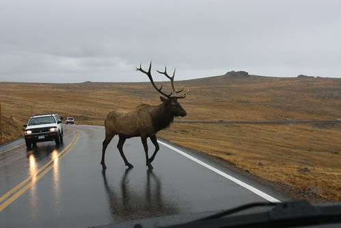 Bull Elk crossing the Road