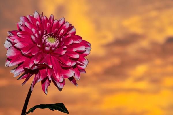 Dahlia Sunrise