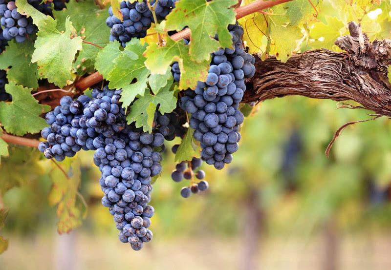 vineyards-1