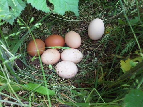 eggs on allotment Jul 12