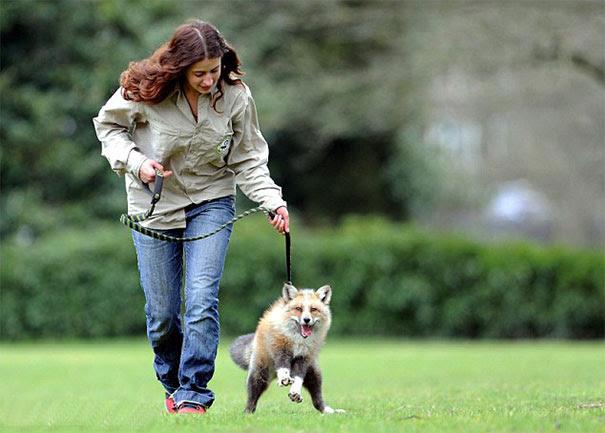 rescued-tame-pet-fox-cub-todd-emma-dsylva-7