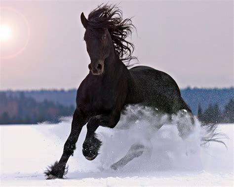 large black horse galloping  snow beautiful desktop