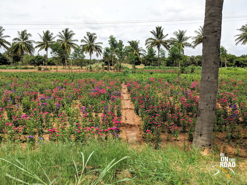 Beautiful Chrysanthemum gardens in Rural Chikkaballapur