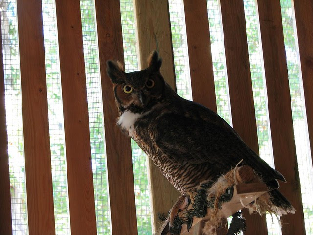 Mowgli the Great Horned Owl