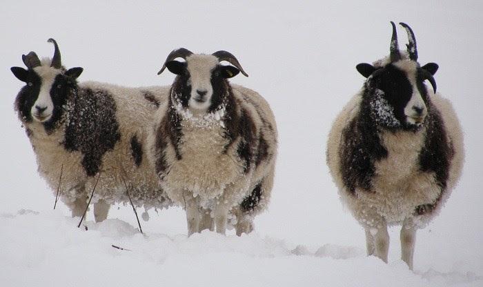 sheep webnews crop.jpg