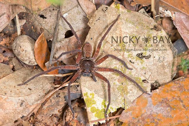 Huntsman Spider (Heteropoda sp.) - DSC_1672