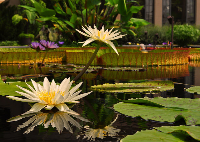 Conservatory - Waterlily Display - Nymphaea 'Mrs. George H. Pring'