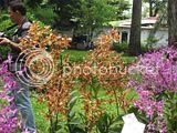Vườn Lan đen rô nắng - denro nắng