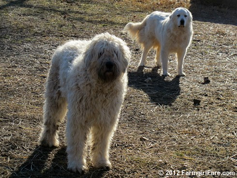 Marta and Daisy worried about their sheep - FarmgirlFare.com