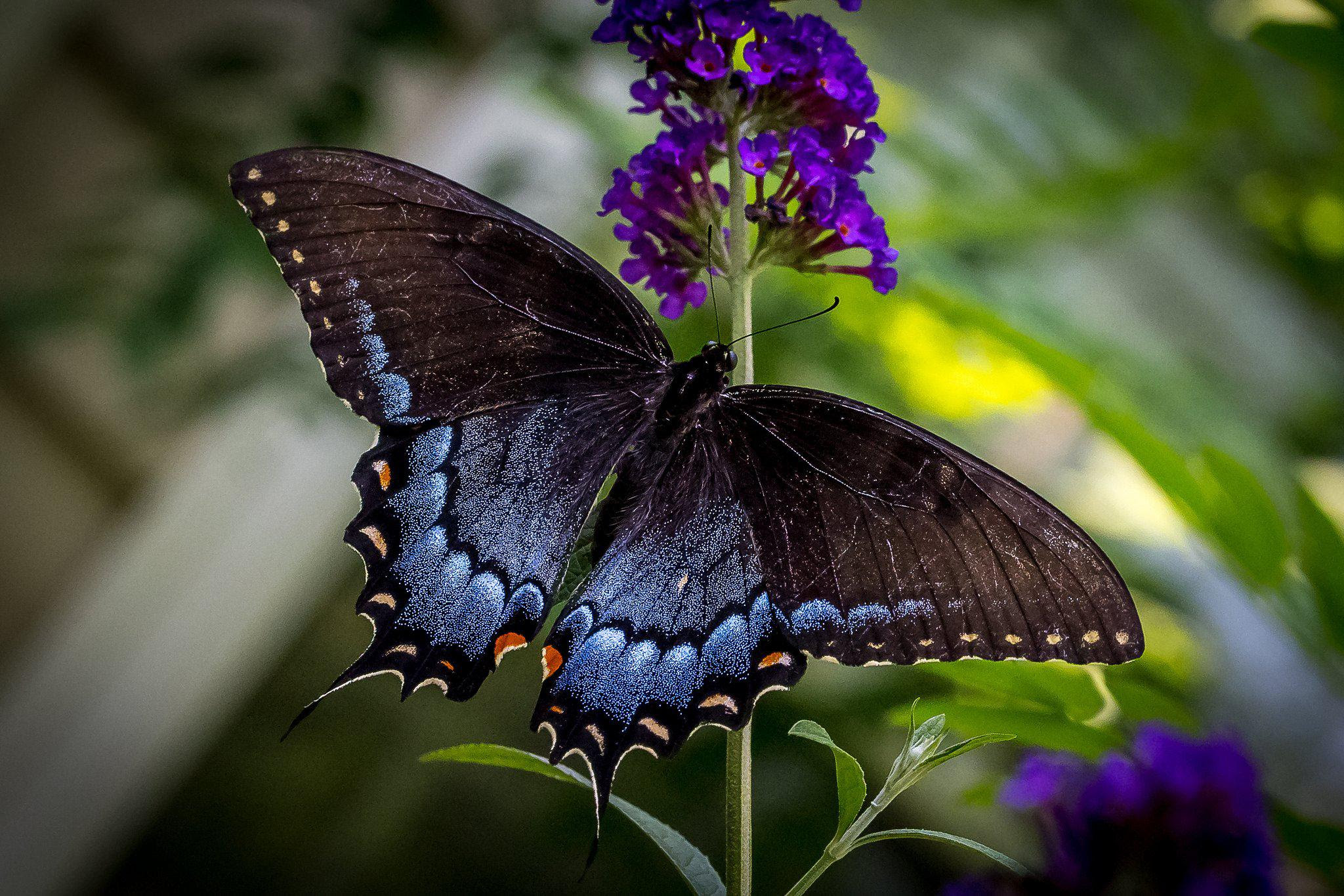 Butterfly Wallpapers High Quality   Download Free
