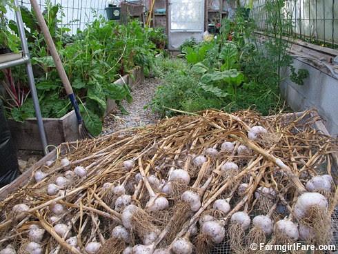 How to grow garlic (8) - garlic curing in the greenhouse - FarmgirlFare.com