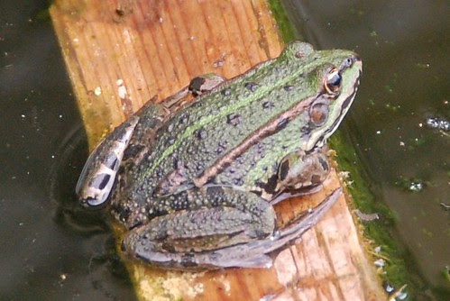 The frog that lives in the water butt