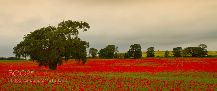 Photograph Tree in a sea of red. by Kevin Murray on 500px