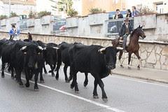 Vaques transhumants per Amposta