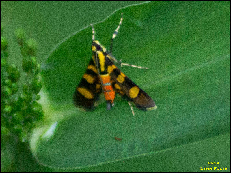 Red-Waisted Florella Moth