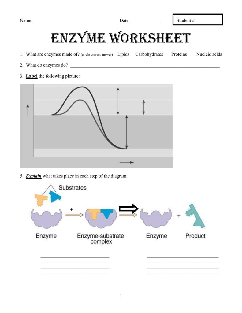 Enzyme Graphing Worksheet Answer Key  Breadandhearth